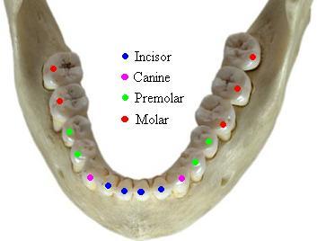Anatomy & Physiology of Teeth
