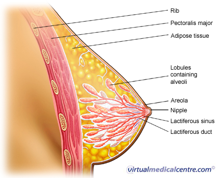 Breast anatomy picture